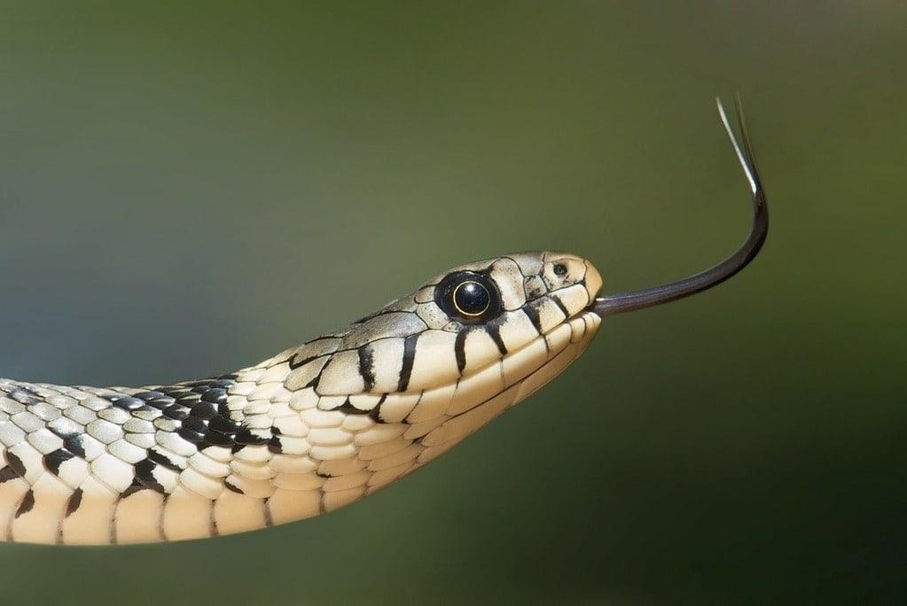 Combien de temps un serpent peut rester sans manger ?